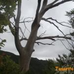 Eucaliptus seco referencia en los senderos de Monte Aguirre